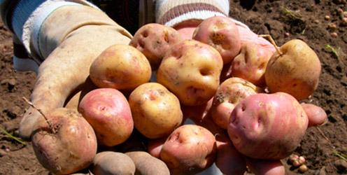 Pérdida de los cultivos vulnerables al cambio climático como el maíz, la papa y el arroz