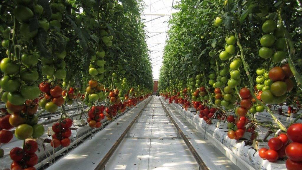 Cultivo de tomates con agua de mar y energía solar